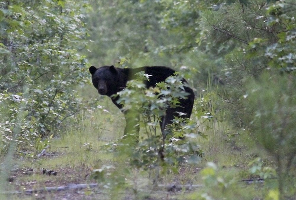 Black Bear Tours on the Outer Banks