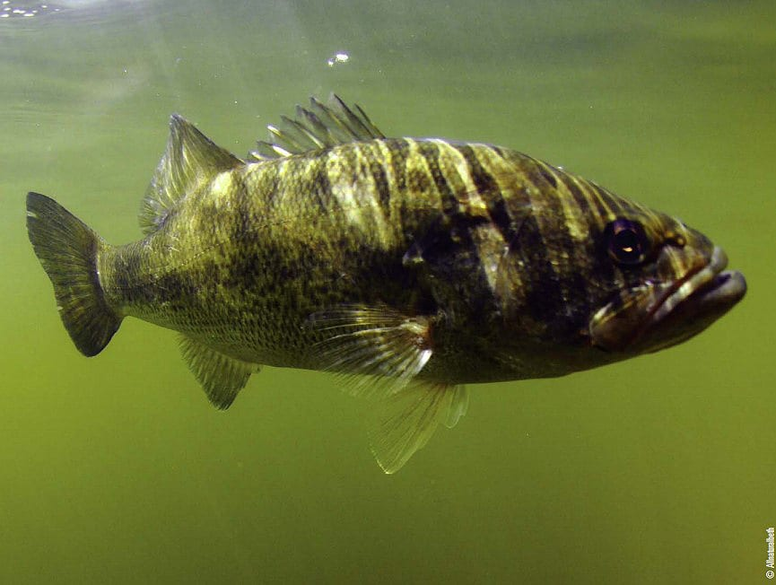 "SUPPLEMENTAL FEEDING: THE FISH ""FOOD CHAIN"" ON STEROIDS"