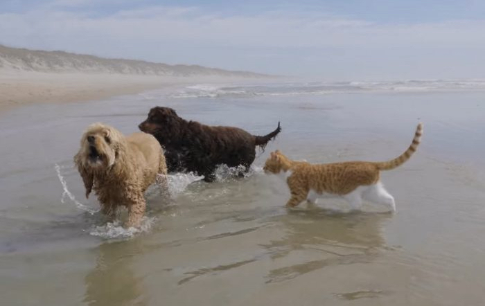 Two dogs and a cat in the ocean. Picture, Caroline Jarvis.